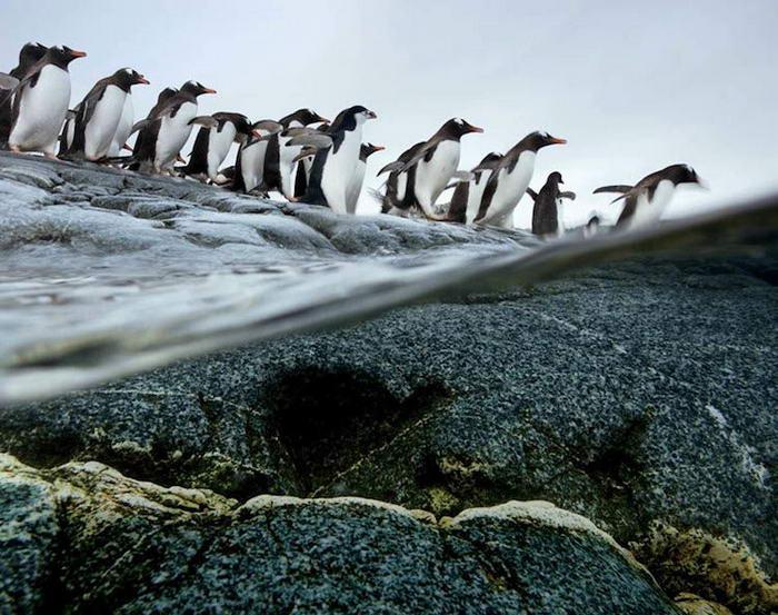 Впечатляващи снимки на миграцията на пингвини