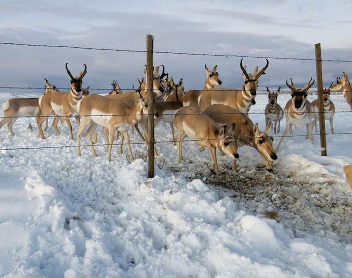 Впечатляващи снимки на миграцията на Вилорога антилопа