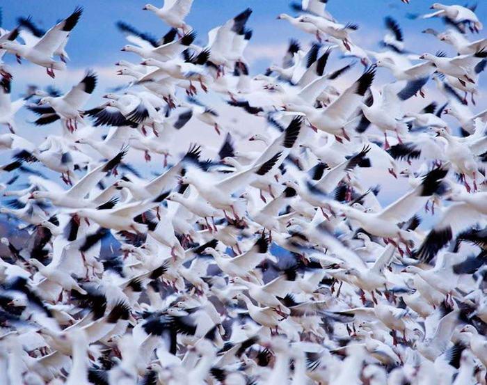 Впечатляващи снимки на миграцията на бялата гъска