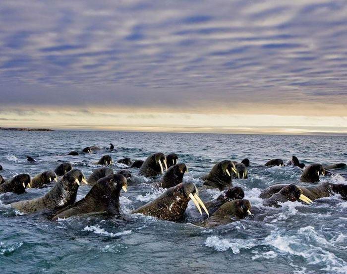 Невероятни снимки на миграцията на моржовете