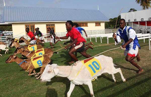 Състезанието с кози е част от годишния празник Великден в Тринидад и Тобаго